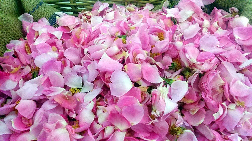 pétales rose de mai